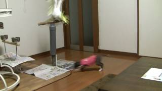 Italian Greyhound vs parrot イタリアングレーハウンド vs オウム 新入...
