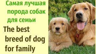 про собак. самые умные и добрые собаки. Лучшие породы собак для семьи и детей. ИДЕИ ДЛЯ ДОМА
