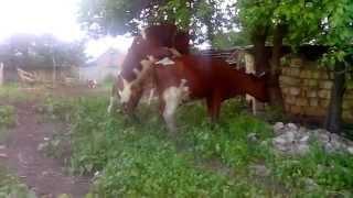 Корова и Бык1