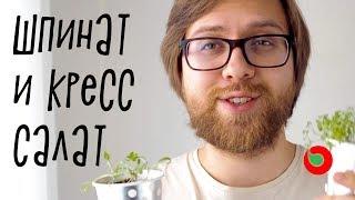 Выращиваем шпинат и кресс-салат дома.