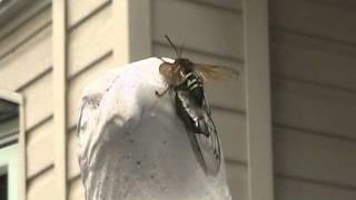 Huge Queen Wasp Vs Cicada
