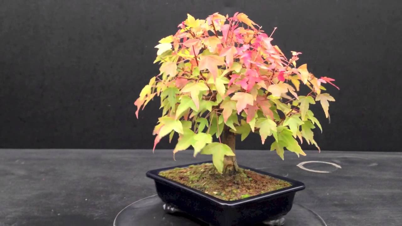 vendita bonsai di acero centro bonsai piccin milano