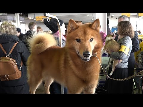 Finnish Spitz 'Whizz' Best of Breed, Non-Sporting Group Westminster Kennel Club Dog Show