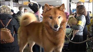 Finnish Spitz 'Whizz' Best of Breed, NonSporting Group Westminster Kennel Club Dog Show