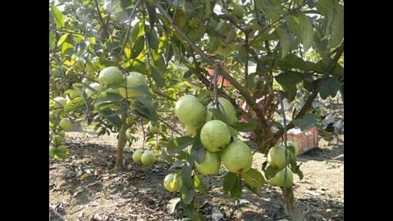 Thai 7 Guava Plants  apple ber nursery  contect/whatsapp no  8514981670