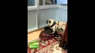 Pug Can't Get Comfy