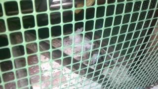 Moje gołębie nauczyły się jeść przymnie tylko jeden jeszcze nie
