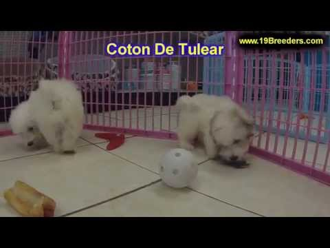 Coton De Tlear, Puppies, For, Sale, in, Mobile, County, Alabama, AL, Huntsville, Morgan, Calhoun, Et