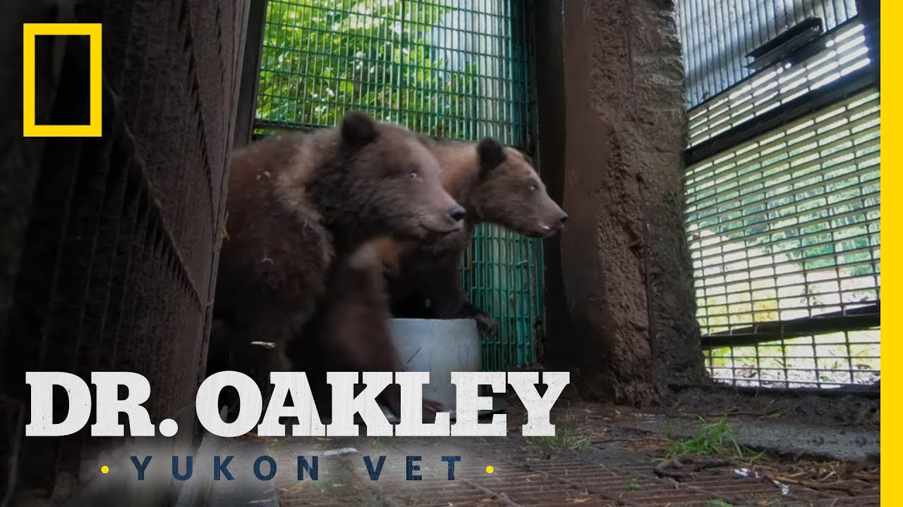 Orphaned Bear Cubs Get a Second Chance | Dr. Oakley, Yukon Vet