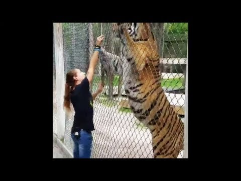 Siberian Tiger | The Largest Cat in the World | Compilation #1