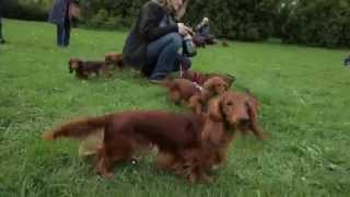 Jamniki Długowłose Królicze Szczenięta/ Rabbit Long-haired Dachshund Puppies