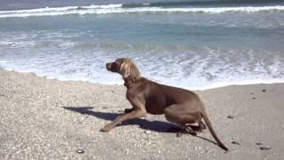 My Weimaraner Is Hunting My Hungarian Vizsla Down On Dolphin Beach Cape Town