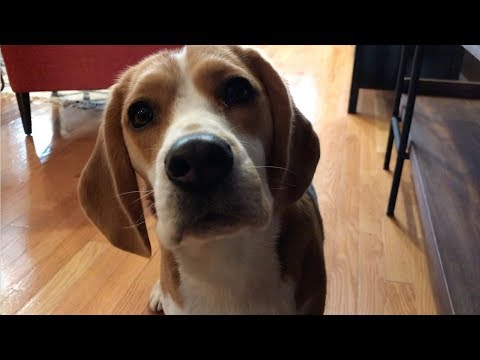 How good is a beagle's nose?