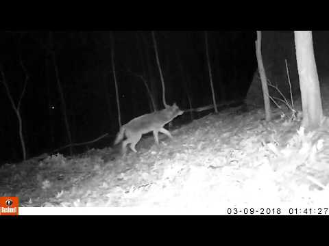 Capital Naturalist: Eastern Coyote at a Red Fox Den