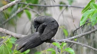 Black Noddies