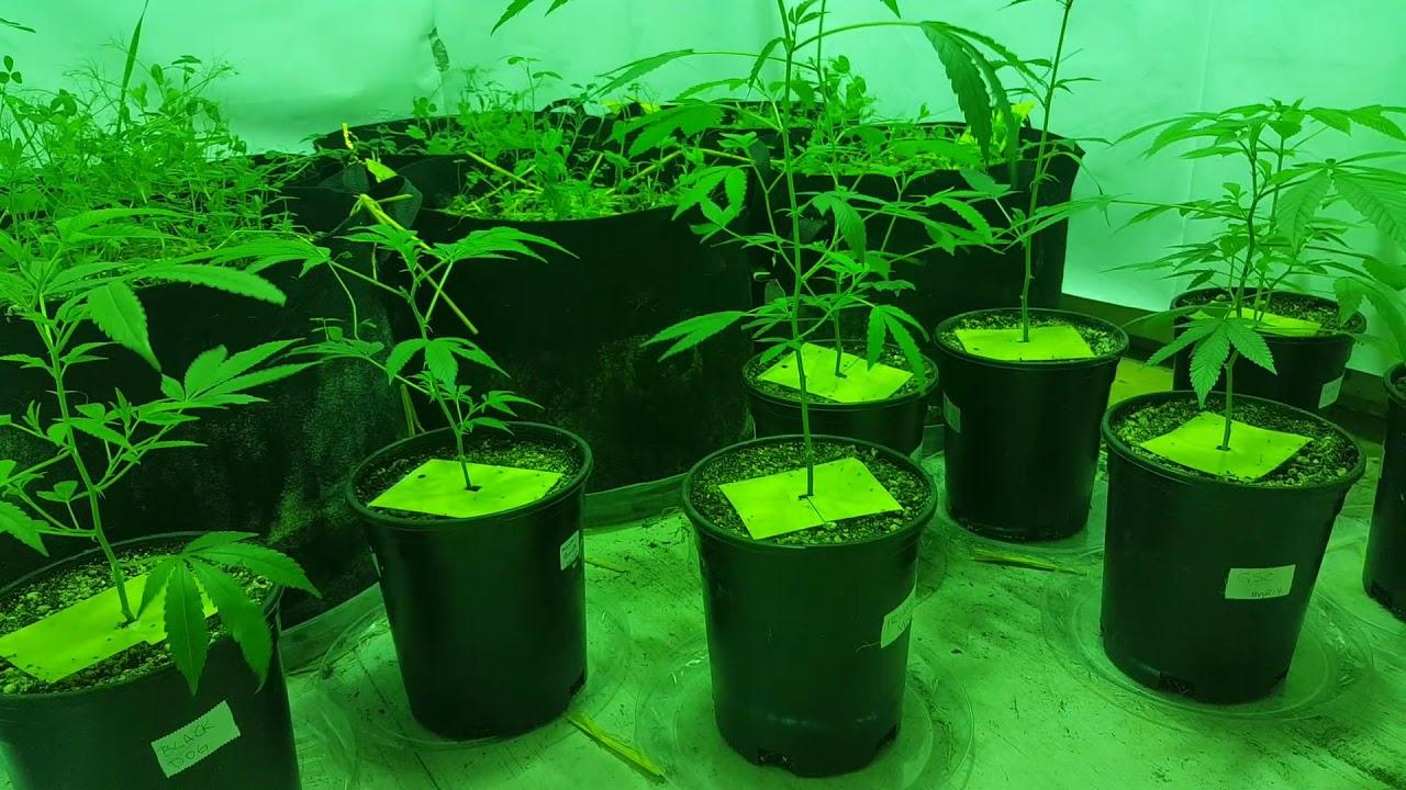 ORGANIC Cannabis Grow // Vero29 Gen 7 // Samsung LM561C //Season 2 2nd scene