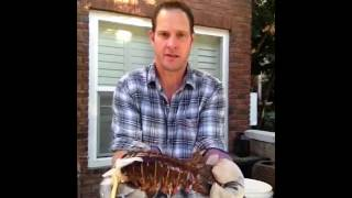 Cleaning a lobster tail