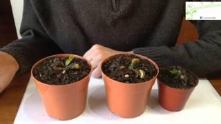 Hibernación de la planta carnívora Venus Atrapamoscas (Dionaea)