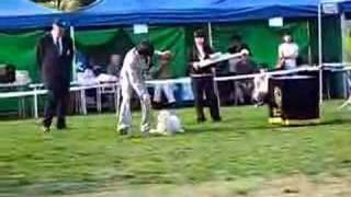 Maltese Dog Show (korea)