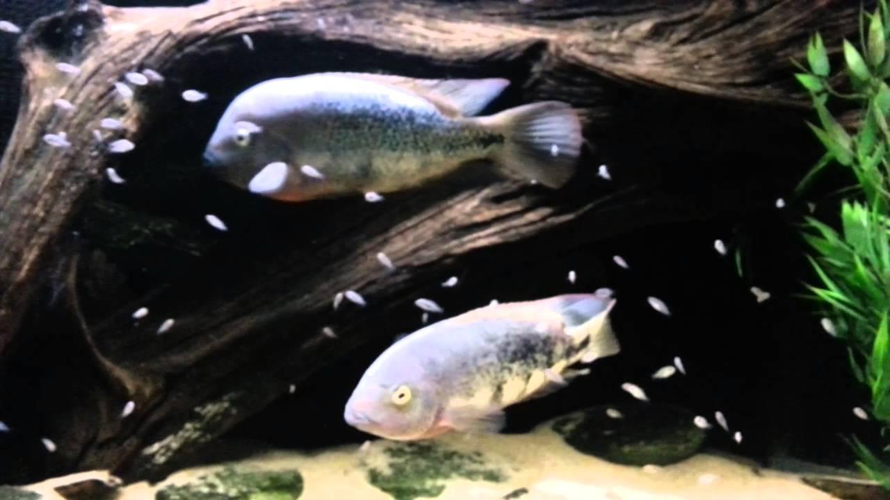 Paratheraps Vieja Guttulatum With Fry Baby Fish Youtube