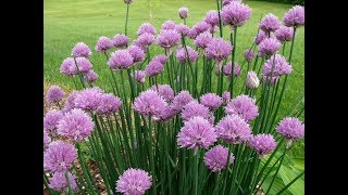 Amazing and Most Beautiful Chives Flowers