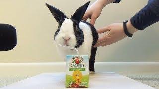 Rabbit tries a juicebox
