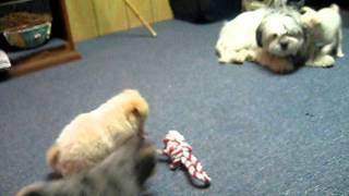 Chihuahua Pomeranian Mix Puppies