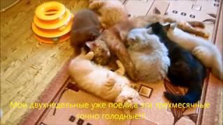 Кошка кормит чужих котят.