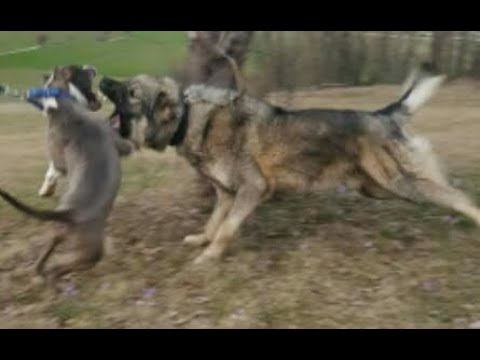 pitbull vs Illyrian Sheepdog ( Pitbull vs Sarplaninac , pitbull vs qen sharri )