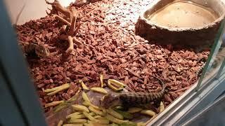 아기도마뱀들의 식사보조시간