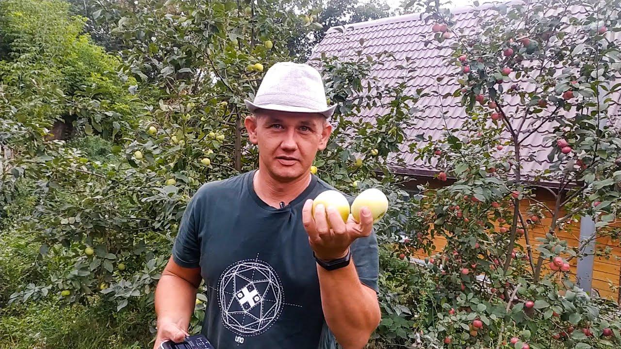 Крупные яблоки в Сибири. Как выбрать яблоню. Обзор сортов. Large apples in Siberia.