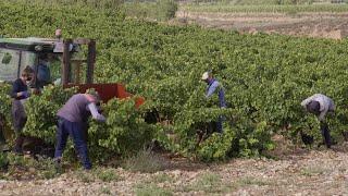 La campaña de la vendimia de La Rioja avanza a buen ritmo