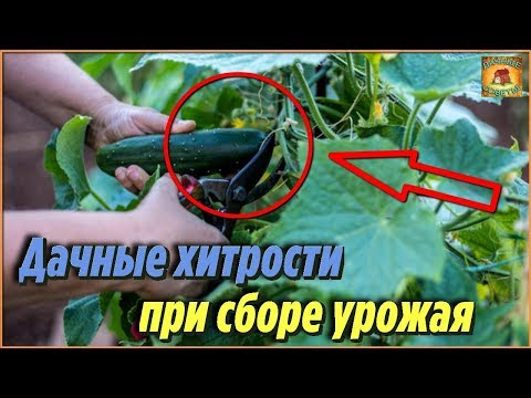 Дачные хитрости при сборе урожая огурцов. Как правильно обрывать огурцы, чтобы увеличить урожай