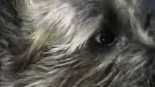An Interview With Derek Lafond (a Cairn Terrier)