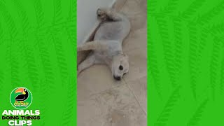 Dog with Funny Face Lying Down | Animals Doing Things Clips