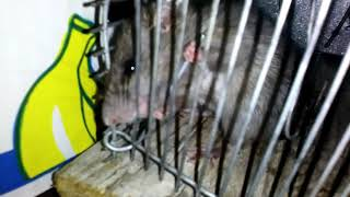 Mouse tries to escape by eating the metal of his trap!!!