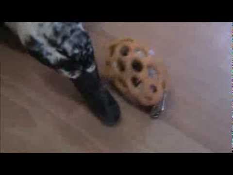 Rudy Domestic Duck, Gets A New Toy - Nature
