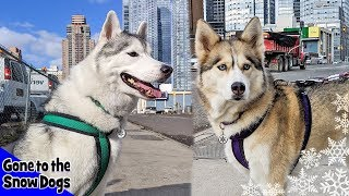 My Huskies go to New York City for PetCon