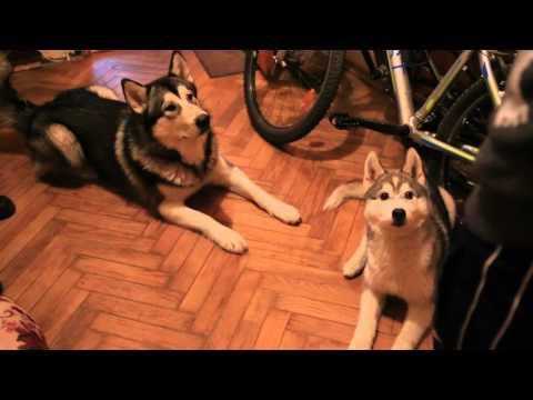 щенки хаски и маламут перед приёмом пищи/ husky puppy and malamute before their meal