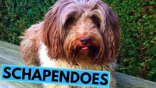 Schapendoes Dog Breed  Facts and Information