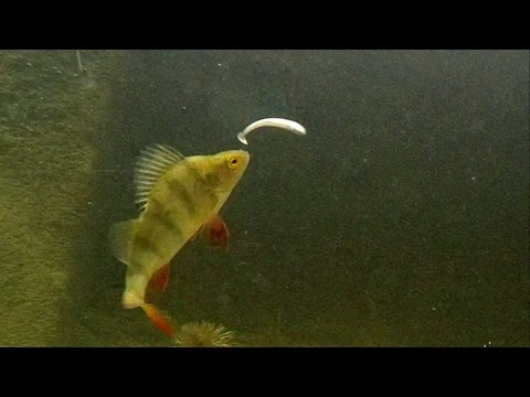 Perch Eat Black Minnow: Underwater Attacks On Fishing Lure.