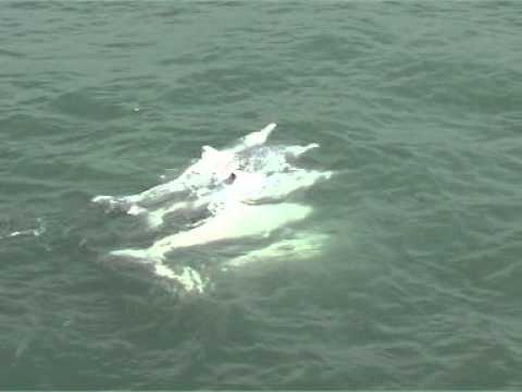 Chinese White Dolphins Part 4