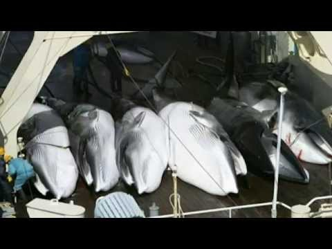 Whaling ban applauded despite fears of Japan sidestep