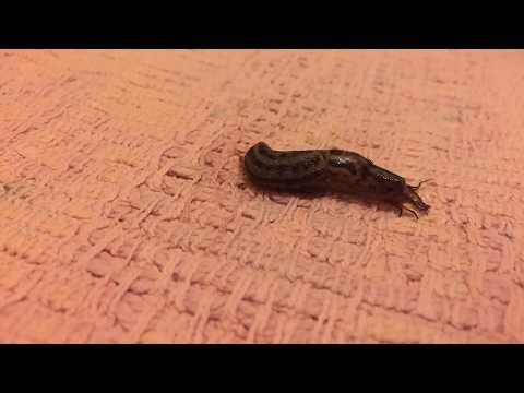 Time Lapse: Garden slug eats an insect