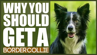 BORDER COLLIE! 5 Reasons Why YOU SHOULD Get A Border Collie!