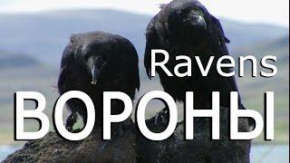 Вороны — Ravens