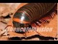 BLACK GIANT Millipede - Archispirostreptus gigas (African Millipede)