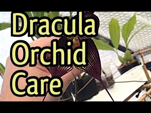 Orchid Care Cool Growing Dracula Orchids Care Instructions