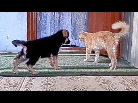 ГЕРОЙ! Щенок немецкой овчарки Риф. Little Hero and the cat - monster. Одесса.
