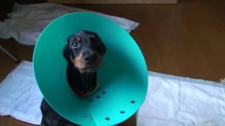 09.8.21(1) Ear Cut!! Puppy Dobermans Sun Royal